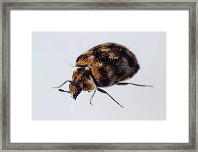 Varied Carpet Beetle Framed Print