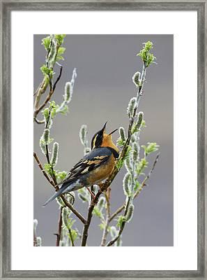 Varied Thrush Singing Framed Print by Ken Archer