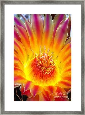Variegated Barrel Cactus Flower Framed Print by Douglas Taylor