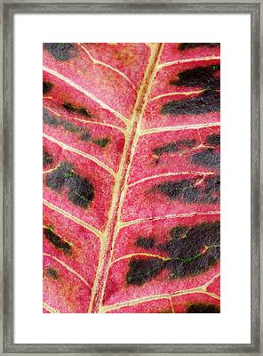 Variegated Croton Leaf Abstract Framed Print by Nigel Downer