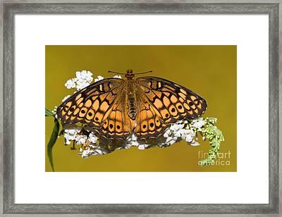 Variegated Fritillary Butterfly Framed Print