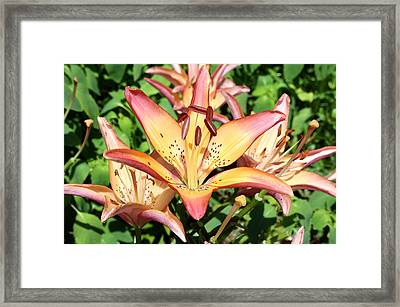 Framed Print featuring the photograph Variegated Gold-orange Lily by Ellen Tully