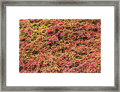 Variegated Ground Cover, The Great Framed Print by Stuart Westmorland