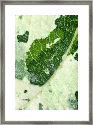 Variegated Leaf Of Poplar 'aurora' Framed Print by Dr Jeremy Burgess