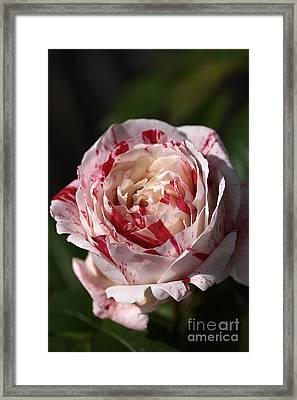 Framed Print featuring the photograph Variegated Rose by Joy Watson