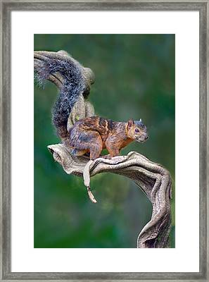 Variegated Squirrel Sciurus Framed Print by Panoramic Images