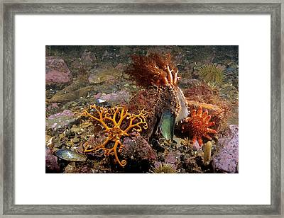 Various Echinoderms Framed Print by Andrew J. Martinez