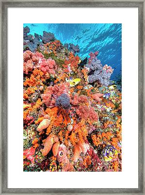 Various Species Of Soft Corals Framed Print by Jaynes Gallery