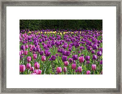 Various Tulip Flowers In A Garden Framed Print