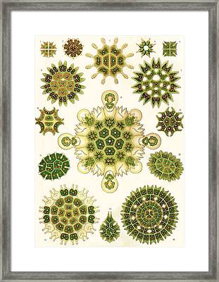 Varities Of Pediastrum From Kunstformen Der Natur Framed Print
