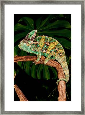 Veiled Chameleon, Chamaeleo Framed Print