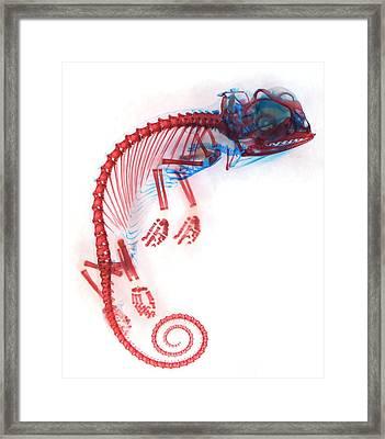 Veiled Chameleon Embryo Skeleton Framed Print by Dorit Hockman