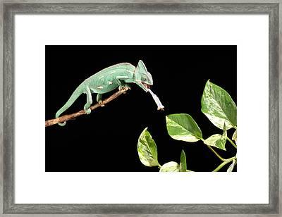 Veiled Chameleon Feeding Framed Print