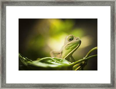 Veiled Chameleon Is Watching You Framed Print