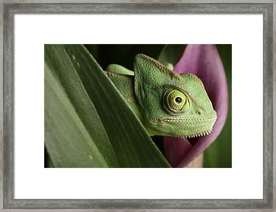 Veiled Chameleon On Cala Lilly Framed Print
