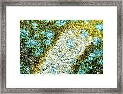 Veiled Chameleon Skin Of Male Framed Print by Ingo Arndt