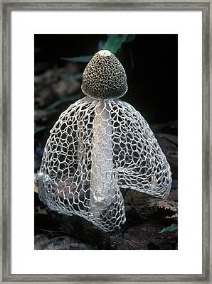 Veiled Lady Dictyophora Indusiata Framed Print by Albert Lleal