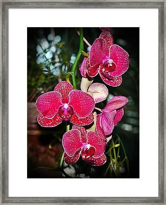 Velvet Petals Framed Print by Liudmila Di