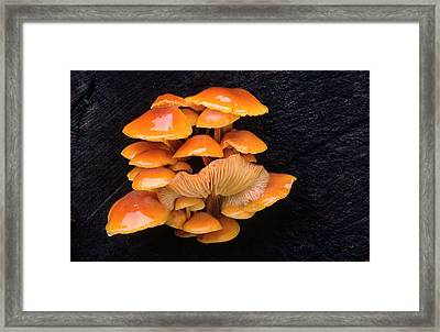 Velvet Shank Fungus Framed Print by Nigel Downer