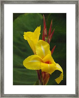 Velvety Yellow Iris  Framed Print