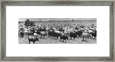 Venezuela Cattle Round-up  Framed Print