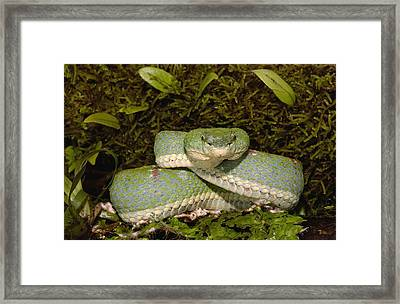 Venomous Eyelash Viper Coiled Ecuador Framed Print by Pete Oxford