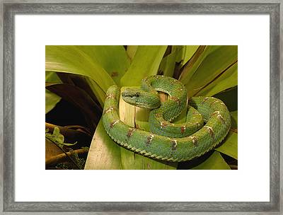 Venomous Eyelash Viper Ecuador Framed Print by Pete Oxford