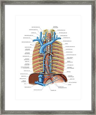 Venous System Of The Oesophagus Framed Print by Asklepios Medical Atlas