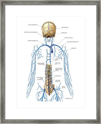 Venous System Of Vertebral Venous Plexus Framed Print