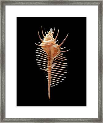 Venus Comb Murex Sea Snail Shell Framed Print