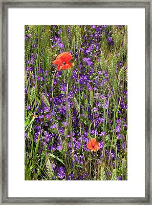 Venus' Looking Glass And Poppies Framed Print by Bob Gibbons