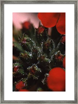 Verbena Annual Framed Print by Retro Images Archive