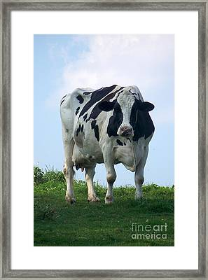 Framed Print featuring the photograph Vermont Dairy Cow by Eunice Miller