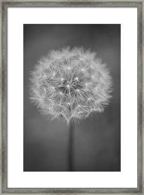 Vermont-dandelion-puffball-taraxacum Officinale-black And White Framed Print by Andy Gimino