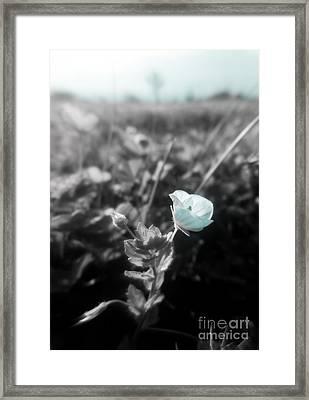 Veronica Persica Framed Print by Ioanna Papanikolaou