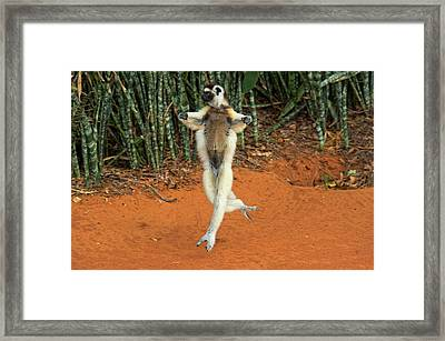 Verreaux's Sifaka Hopping, Propithecus Framed Print by Andres Morya Hinojosa