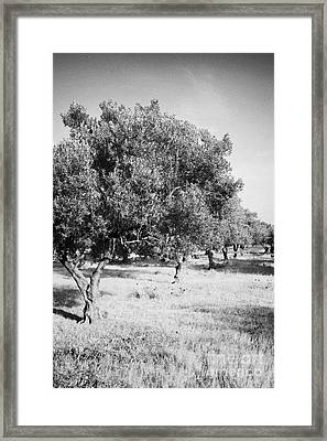Vertical Row Line Of Olive Trees On Farmland In Hammamet Tunisia Framed Print by Joe Fox