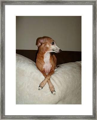 Veruca   - I Am Beautiful Ok -  Italian Greyhound Framed Print by Santos Arellano