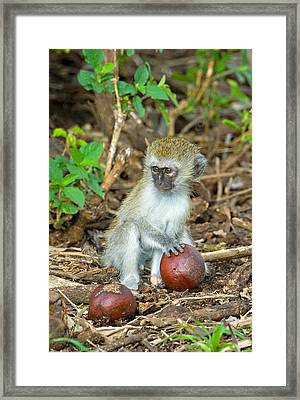 Vervet Monkey Holding A Seed Pod Framed Print by Panoramic Images