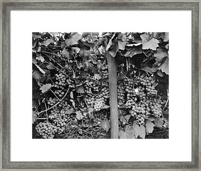 Very Robust Grape Crop Framed Print by Underwood Archives