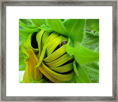 Very Shy Sunflower Framed Print