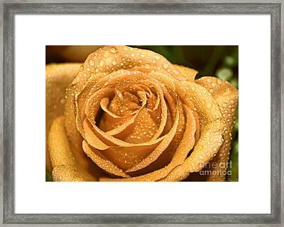 Very Wet Rose Framed Print by Debbie Portwood