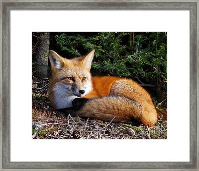 Vested Fox Framed Print