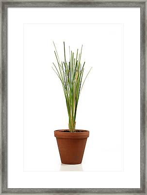 Vetiver Plant Framed Print by Cordelia Molloy
