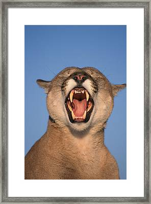 V.hurst Tk21663d, Mountain Lion Growling Framed Print by Victoria Hurst