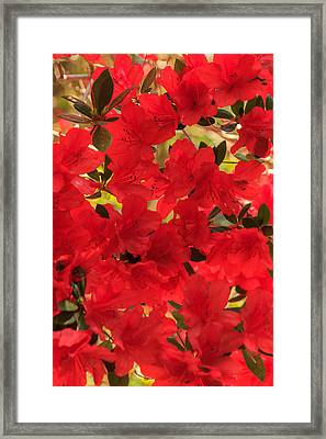 Framed Print featuring the photograph Vibrant Azalea by Patricia Schaefer