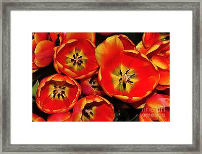 Vibrant Red Tulips From Above Framed Print by Kaye Menner