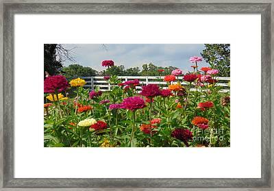 Vibrant Zinnia Garden Framed Print