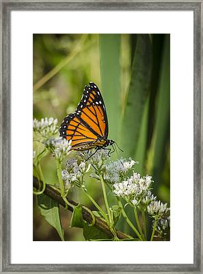 Framed Print featuring the photograph Viceroy 2 by Bradley Clay