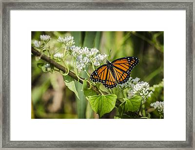 Framed Print featuring the photograph Viceroy Butterfly by Bradley Clay